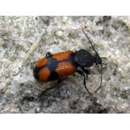 Panagaeus cruxmajor ( Panagaeinae )
