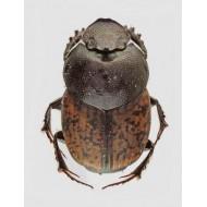 Onthophagus opacicollis