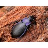 Carabus ( Megodontus) purpurascens trans ad. violaceus