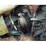 Carabus ( Procrustes)  coriaceus coriaceus