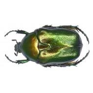 Protaetia ( Potosia ) angustata