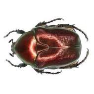 Protaetia ( Potosia ) angustata RED FORM