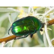 Protaetia ( Eupotosia) affinis