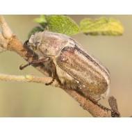Anoxia matutinalis thumseri