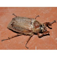Melolontha pectoralis