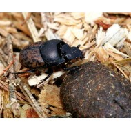 Onthophagus fracticornis  x5