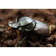 Onthophagus taurus   x2