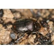 Onthophagus furcatus x2  x5
