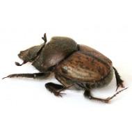 Onthophagus fissicornis