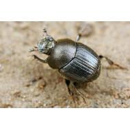 Onthophagus grossepunctatus x5