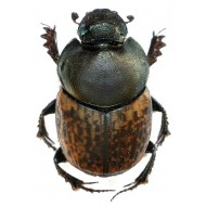 Onthophagus medius