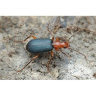 Brachinus crepitans   x5