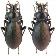 Carabus (Oxycarabus) saphyrinus pirithous
