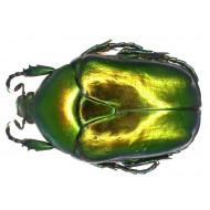 Protaetia ( Cetonischema) aeruginosa