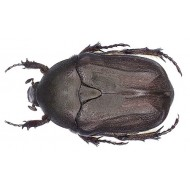 Protaetia ( Netocia) morio