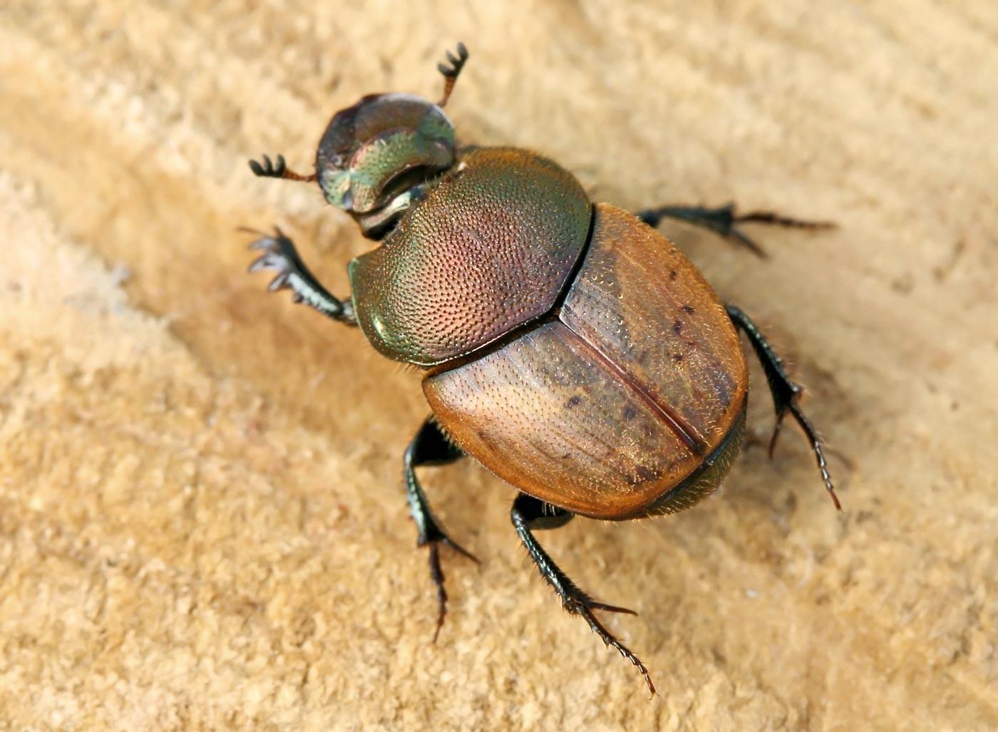 Resultado de imagen de Onthophagus coenobita