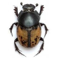 Onthophagus marginalis