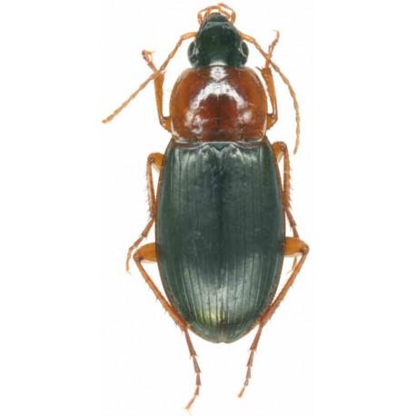 Calathus melanocephalus
